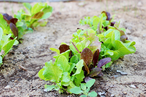 Lettucegrowth